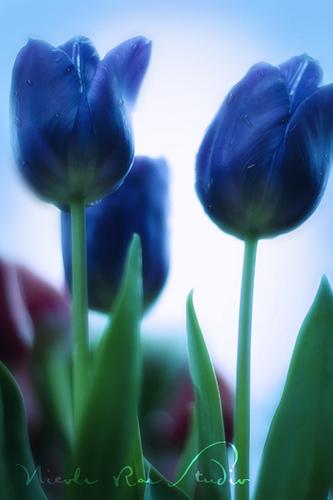 tulips perfect love writer and illustrator. Black Bedroom Furniture Sets. Home Design Ideas
